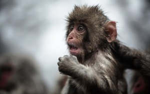 Funny-Full-HD-Monkey-Wallpapers
